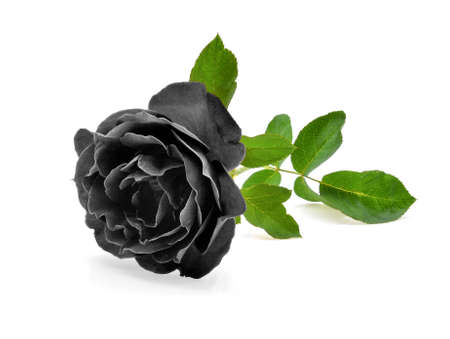 Photo for black rose isolated on white background - Royalty Free Image
