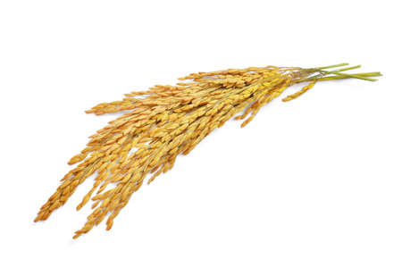 Photo for yellow paddy rice isolated on white background - Royalty Free Image