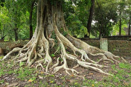 ancient tree and bric wall