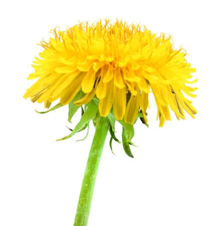 Foto de One yellow flower of dandelion isolated on white background. Close-up. Studio photography. - Imagen libre de derechos