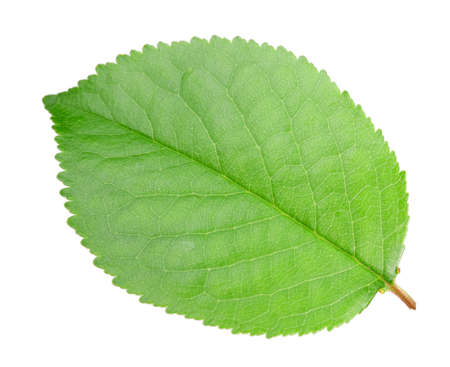 One green leaf of apple-tree. Isolated on white background. Close-up. Studio photography.