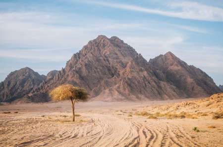 Photo for Tree in Sinai desert with rocky hills and mountains against sunset sky, Egypt. Life in desert concept - Royalty Free Image