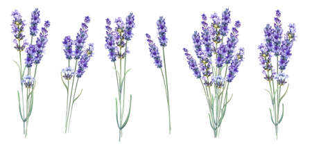 Foto de Lavandula aromatic herbal flowers. Summer collection of blossom lavender. Awesome blue flowers set. Pack for marriage, wedding or invitation cards. Watercolor illustration isolated over white background. - Imagen libre de derechos
