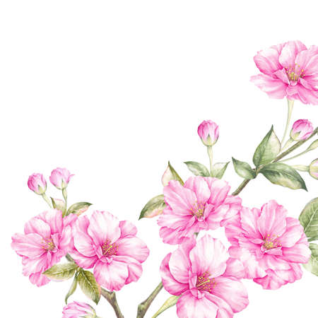 Photo pour Pink sakura flowers branch isolated over white background. Realistic watercolor botanical illustration. - image libre de droit