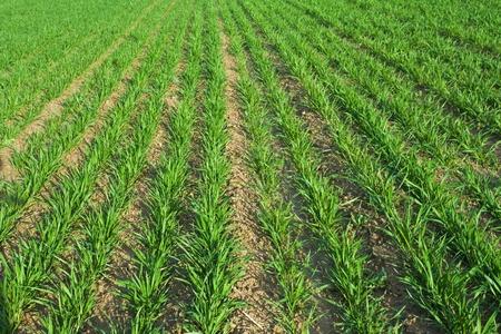 Photo pour Wheat Planting - image libre de droit