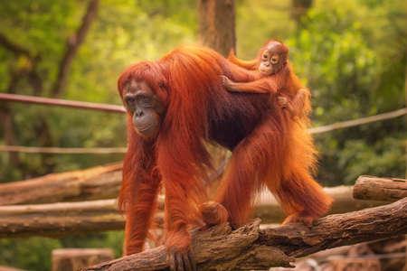 Photo pour Young orangutan is sleeping on its mother. - image libre de droit