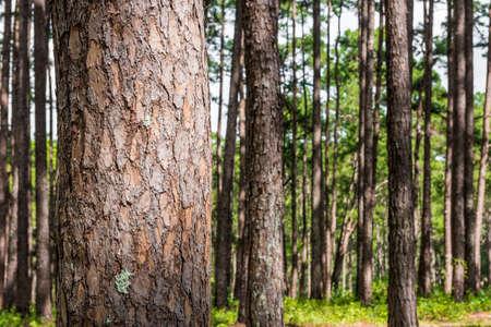 Photo pour pine forest with trunk with bark - image libre de droit
