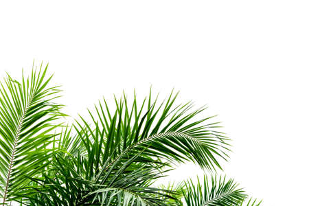 Photo pour Palm leaves isolated on white - image libre de droit