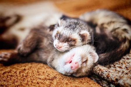 Photo pour Two cute sleeping ferrets - image libre de droit