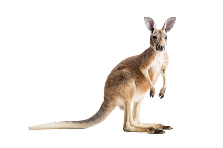 Photo pour Red kangaroo on white background. - image libre de droit