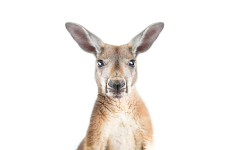 Photo pour Red kangaroo in studio on a white background.  - image libre de droit