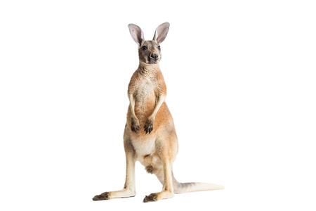 Photo for Red kangaroo on white background. - Royalty Free Image