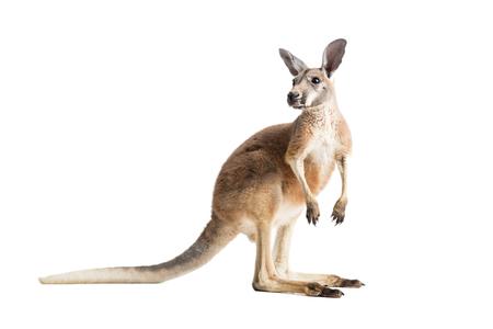 Photo pour Red kangaroo on white background - image libre de droit