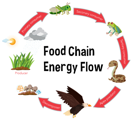 Ilustración de Food chain energy flow diagram illustration - Imagen libre de derechos