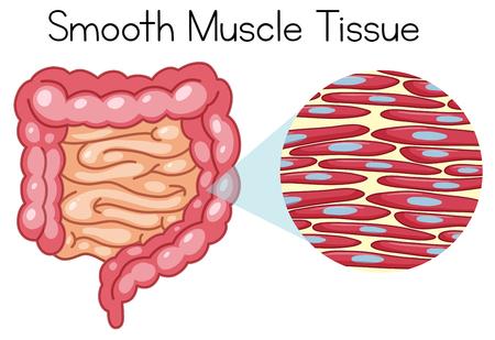 Illustration pour Anatomy of Smooth Muscle Tissue illustration - image libre de droit