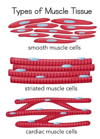 Ilustración de Types of Muscle Tissue illustration - Imagen libre de derechos