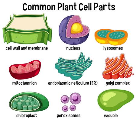 Ilustración de Common plant cell parts illustration - Imagen libre de derechos