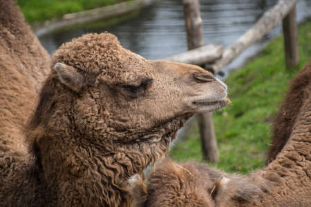 Foto de The Bactrian camel, Camelus bactrianus is a large, even-toed ungulate native to the steppes of Central Asia. - Imagen libre de derechos