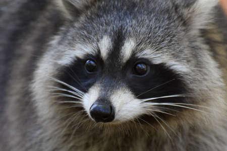Foto de Raccoon face close-up - Imagen libre de derechos