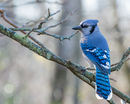 Photo pour A Blue Jay perched on tree branch. - image libre de droit