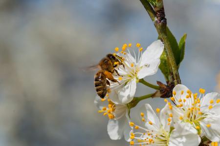 Photo pour Honeybee on white plum flowers macro - image libre de droit
