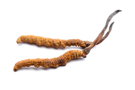 Foto de Cordyceps sinesis or Himalayan gold. Isolated on white background. - Imagen libre de derechos