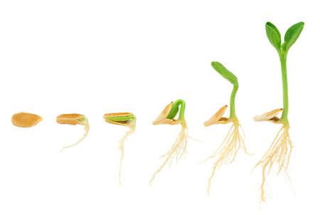 Photo pour Sequence of pumpkin plant growing isolated, evolution concept - image libre de droit