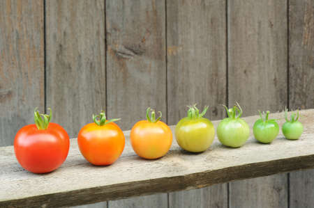 Photo pour Evolution of red tomato - maturing process of the fruit - stages of development - image libre de droit