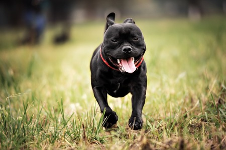 Photo pour English staffordshire bull terrier running in road - image libre de droit
