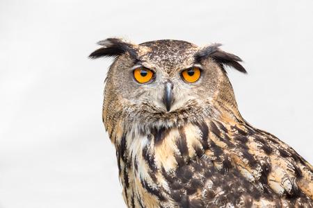 Photo for Portrait of eagle owl with orange eyes isolated on white background - Royalty Free Image