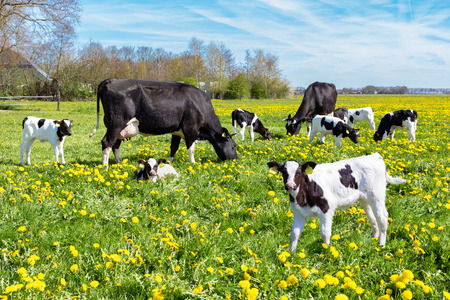 Photo pour Meadow full of dandelions with grazing cows and newborn calves in spring season - image libre de droit