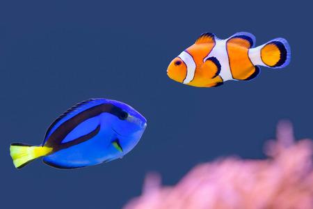 Photo pour Palette surgeonfish and clownfish swimming together - image libre de droit