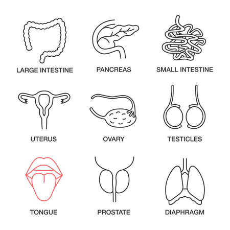 Illustration pour Internal organs linear icons set. Large and small intestine, pancreas, uterus, ovary, testicles, tongue, prostate, diaphragm. Thin line contour symbols. Isolated vector outline illustrations - image libre de droit