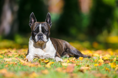 Photo for Boston terrier dog on a green lawn in autumn scenery among colorful leaves - Royalty Free Image