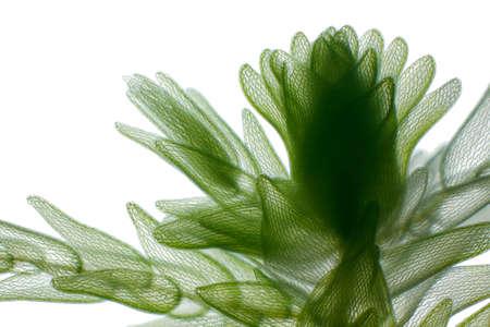 Photo pour Microscopic view of peat moss (Sphagnum). Brightfield illumination. - image libre de droit