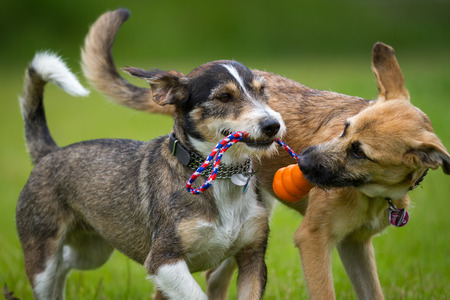 Photo pour Two dogs playing together with a toy in a green meadow  - image libre de droit