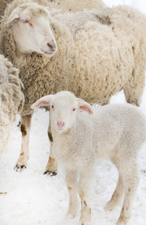 Lamb standing in front of sheep with skin problem