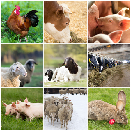 Photo pour Collage of farm animals (rooster,cow,piglet,sheep, rabbit) - image libre de droit