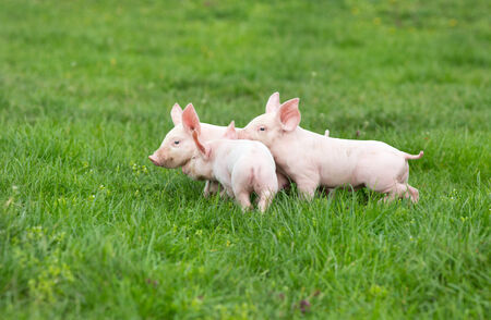 Three cute piglets walking and playing on grass