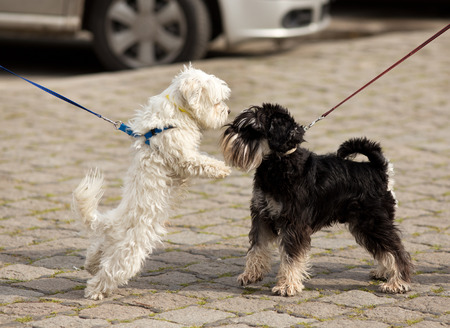 Photo for Two cute dogs on leashes meeting and sniffing on street - Royalty Free Image