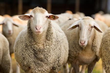 Foto de Portrait of cute sheep in herd looking at camera - Imagen libre de derechos