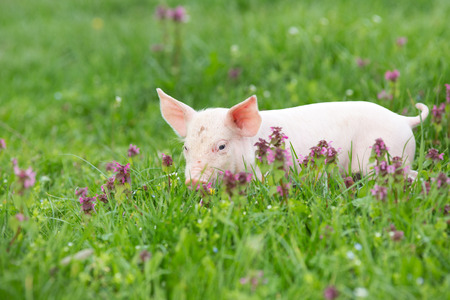 Cute pink piglet walking on grass in spring time