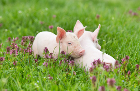Cute piglets standing and nudging on grass