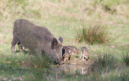 Wild boar family, sow with piglets drinking water in forest
