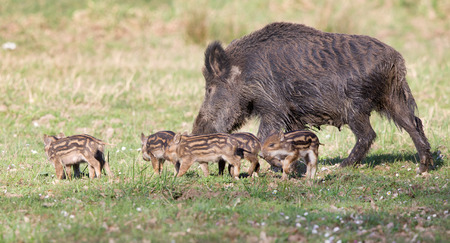 Wild boar family, mother with piglets walking on grass on sunny day