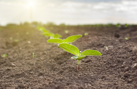 Photo for Close up of sunflower sprouts growing from dry soil - Royalty Free Image