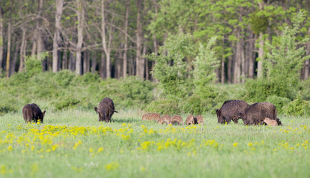 Herd of wild boars with cute piglets walking on meadow with spring flowers