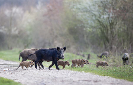 Group of wild boars with striped piglets walking in the forest