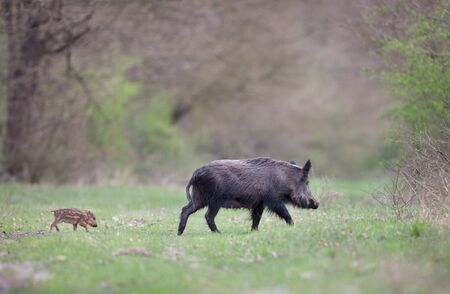 Wild boar mother with cute striped piglet running on meadow in forest