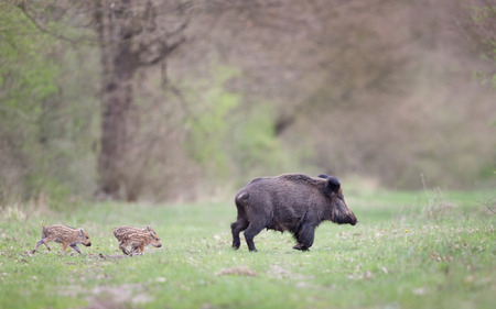 Wild boar mother with cute striped piglets running on meadow in forest